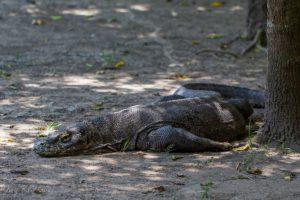 Комодский варан на острове Ринча