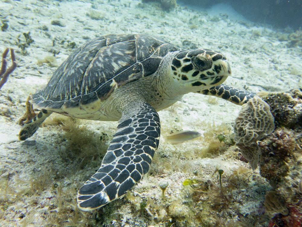 Морская черепаха около острова Козумель